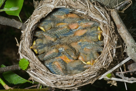 A close up of the nest of thrush with small babies. photo