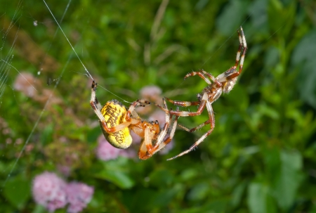 lovemaking: A close up of the two spiders, doe and male. Flirtation.