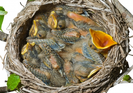 nestle: A close up of the nest of thrush with small babies. Isolated on white.