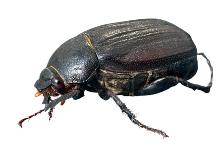 coleopter: A close up of the beetle chafer. Isolated on white.