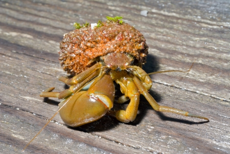 A close up of the hermit crab on wood. photo