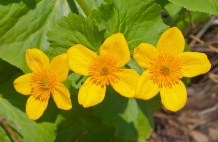palustris: A close up of the flowers of kingcup (Caltha palustris).