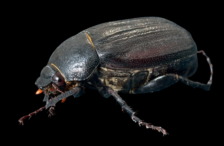 coleopter: A close up of the beetle chafer. Isolated on black. Stock Photo