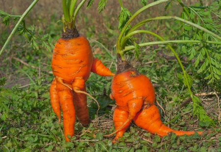 A close up of the unusual carrots, similar to humans. Stock Photo