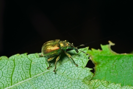 A close up of the beetle weevil on leaf.