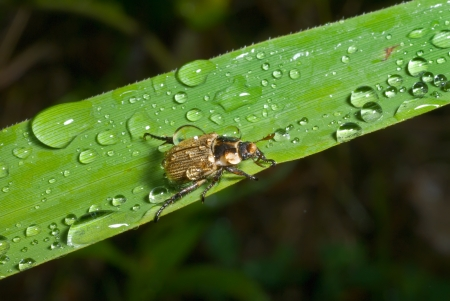 coleopter: A close up of the small beetle chafer on grass-blade with raindrops.