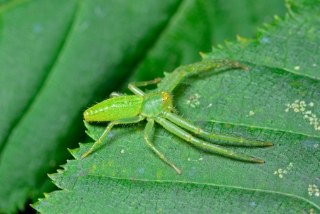 arachnids: A close up of the small green spider on leaf.