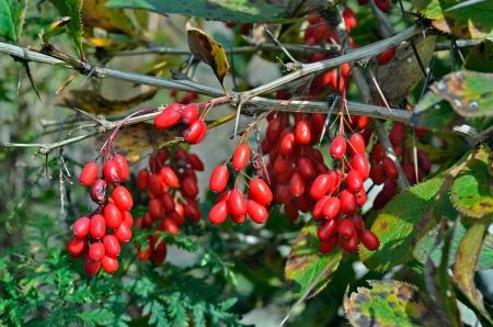 A close up of the barberry (Berberis amurensis).