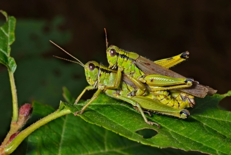 copulation: A close up of two grasshoppers (Locust) on leaf, copulation. Stock Photo