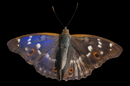 hexapod: A close up of the butterfly (Apatura substituta). Isolated on black. Stock Photo