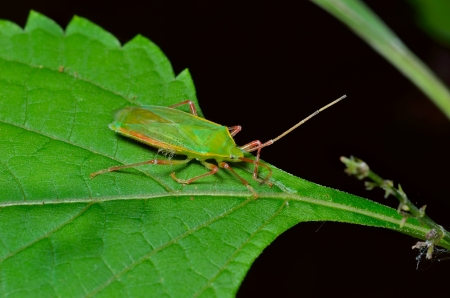 A close up of the green bug on leaf.