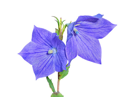 A close up of the blue bellflowers (Platycodon grandiflorus). Isolated on white.