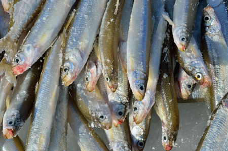 smelt: Catch on winter fishing. A close up of the fishes smelt on ice.