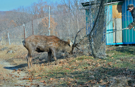 meshed: The rescue of spotted deer meshed in net on garden.