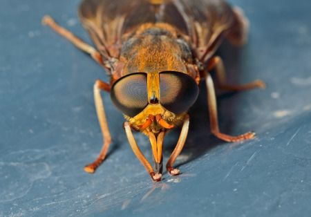 horsefly: A close up of the horsefly (Tabanid).