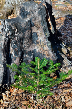 A close up of the small young fir at old big stump. Stock Photo