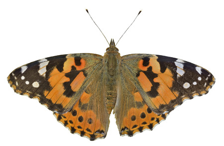 vanessa: A close up of the butterfly (Vanessa cardui) (Painted lady). Isolated on white.