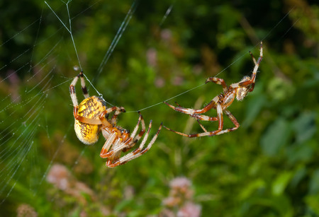 A close up of the two spiders, doe and male. Flirtation.