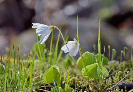 A close up of the small white flowers oxalis. photo