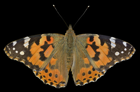 vanessa: A close up of the butterfly (Vanessa cardui) (Painted lady). Isolated on black.