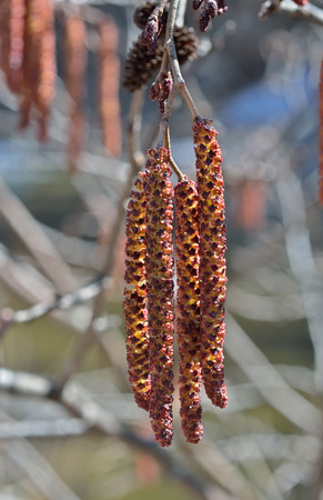 alder: A close up of the branches of alder with catkins. Early spring.