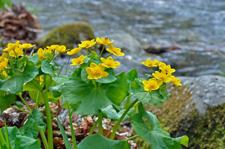 palustris: A close up of the flowers of kingcup (Caltha palustris) at river. Stock Photo