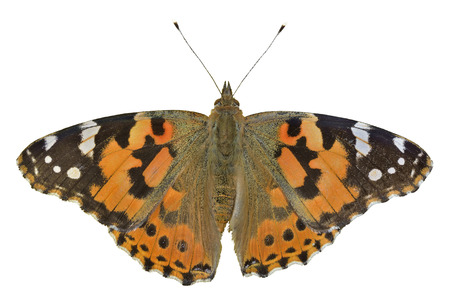 A close up of the butterfly (Vanessa cardui) (Painted lady). Isolated on white.