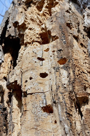 hollows: A close up of the very old dead tree with hollows of woodpecker.