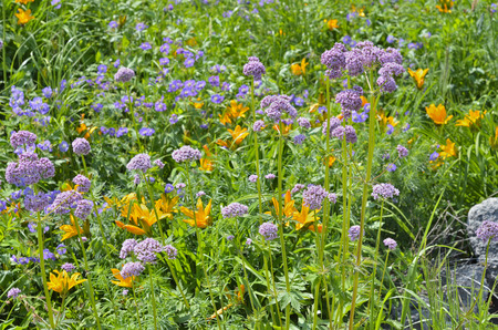 valerian: Una stretta di fioritura valeriana erbe medicinali (Valeriana alternifolia) sul prato fiorito.