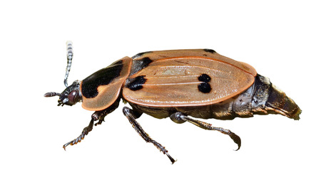 hexapod: A close up of the beetle (Silphidae). Isolated on white.