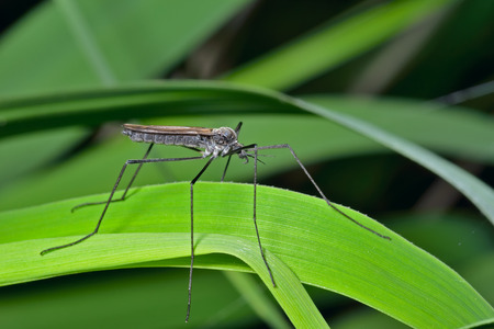 tipulidae: A close up of the insect daddy-long-legs (Tipulidae) on grass-blade.