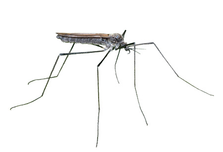 tipulidae: A close up of the insect daddy-long-legs (Tipulidae). Isolated on white.