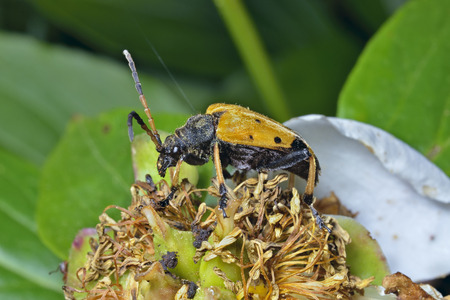 coleopter: A close up of the capricorn beetle (Brachyta bifasciata) on old flower peony. Stock Photo