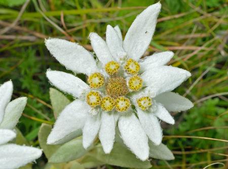 A close up of the flower edelweiss (Leontopodium pallibinianum).