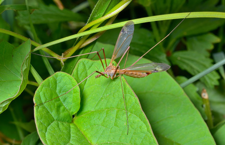 tipulidae: A close up of the insect daddy-long-legs (Tipulidae) on leaf.