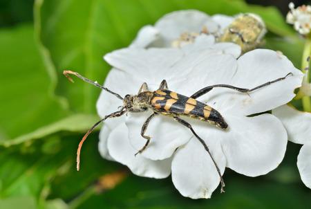 A close up of the Capricorn beetle (Strangalla arenata) on leaf.