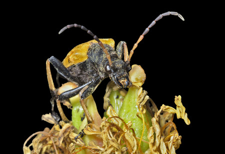 coleopter: close up of the capricorn beetle (Brachyta bifasciata) on old flower peony. Isolated on black.