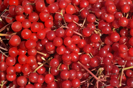 guelder rose berry: A close up of the berries of arrow-wood. Stock Photo