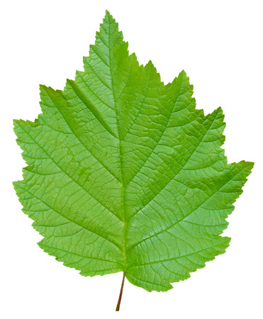 A close up of the green leaf of alder. Isolated on white.