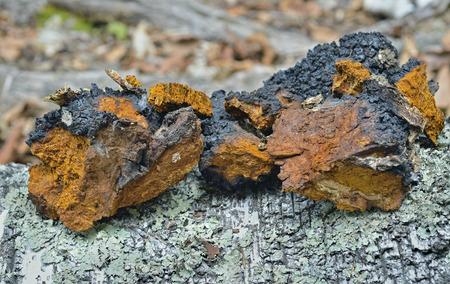 A close up of the medicinal birch mushroom (Inonotus obliquus).
