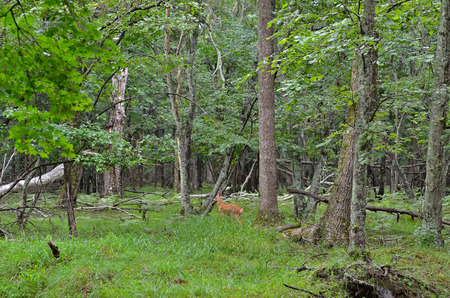 sika deer: A young sika deer in summer taiga.