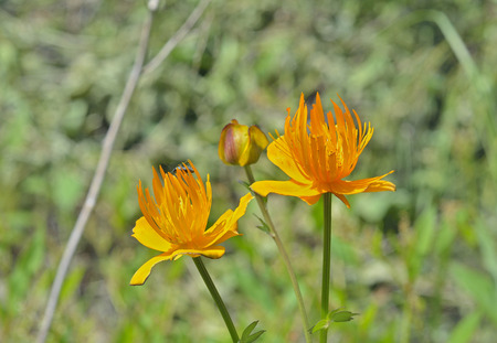 A close up of the globe-flower (Trollius chinensis). photo