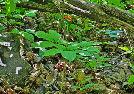 A close up of the most famous medicinal plant ginseng (Panax ginseng). photo