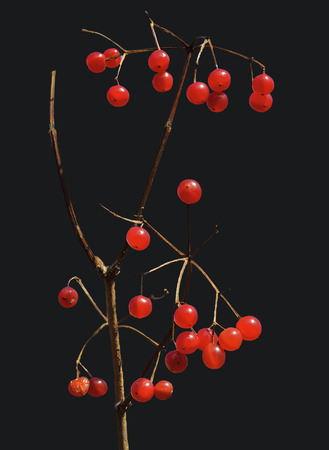 guelder rose berry: A close up of the berries of arrow-wood. Isolated on black. Stock Photo