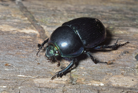 A close up of the dung-beetle on tree. Stock Photo