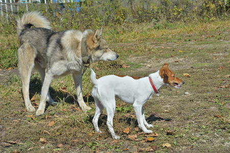 pure blooded: Two dogs: Parson Russell terrier and Siberian husky. Stock Photo