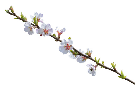cherrytree: A close up of the blooming branch of a cherry-tree. Isolated on white.