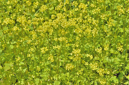 mustard field: A close up of the blooming mustard on field.