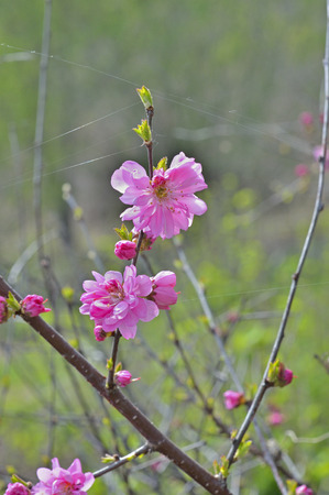 cherrytree: A close up of the blooming branch of a cherry-tree (Prunus serrulata) in orchard.