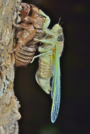 crick: A close up of the new-born cicada on its skin. Stock Photo